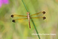 06618-00302 Yellow-sided Skimmer (Libellula flavida) female Cottonmouth Fen Ripley Co. MO