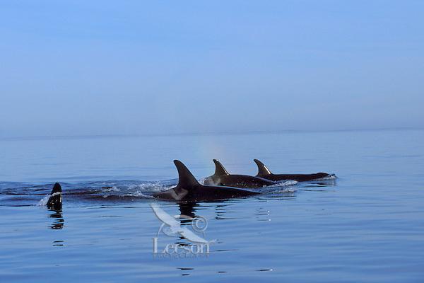 Orca Whale or Killer Whale (Orcinus orca) pod.