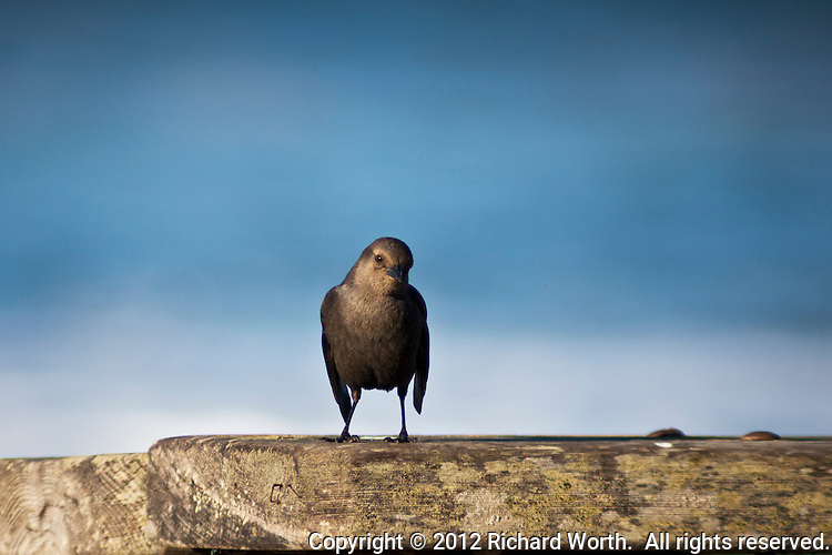 A bird, with a catchlight glint in its eye, on a picnic table at Pomponio State Beach on the California Coast.  Likely, but not confirmed to be, a female Brewer's blackbird.