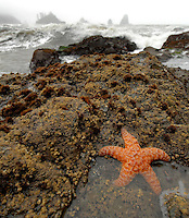 Starfish in tide pool, Third Beach, Olympic National Park.