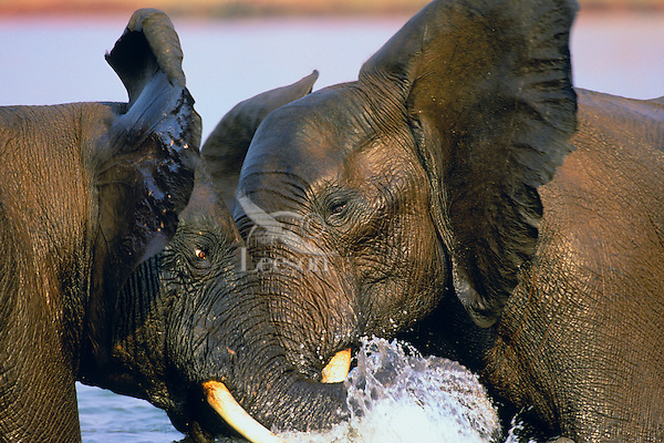 3ME260  African bull elephants (Loxodonta africana) dominance sparring in Lake Kariba, Matusadona National Park, Zimbabwe.  Sept.