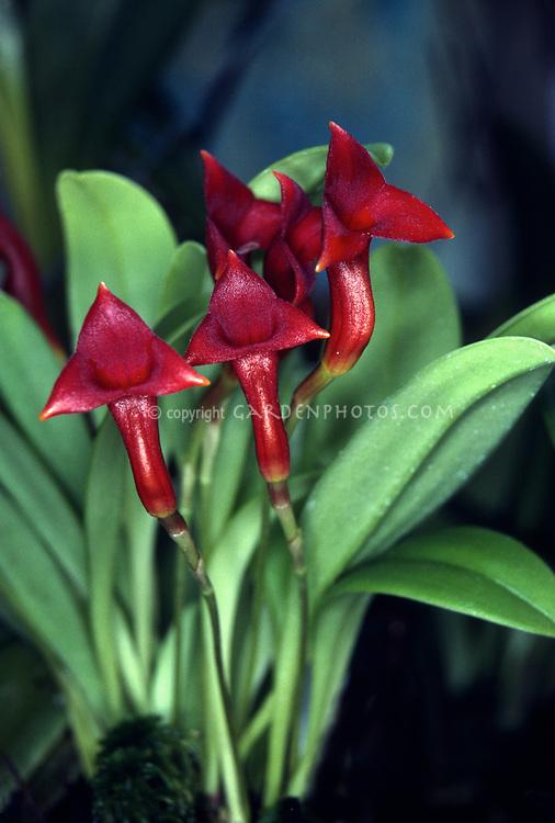 Masdevallia angulifera orchid species