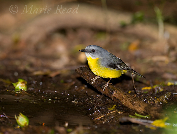 Eastern Yellow Robin (Eopsaltria australis) at water pool to drink, Lamington National Park, Queensland, Australia
