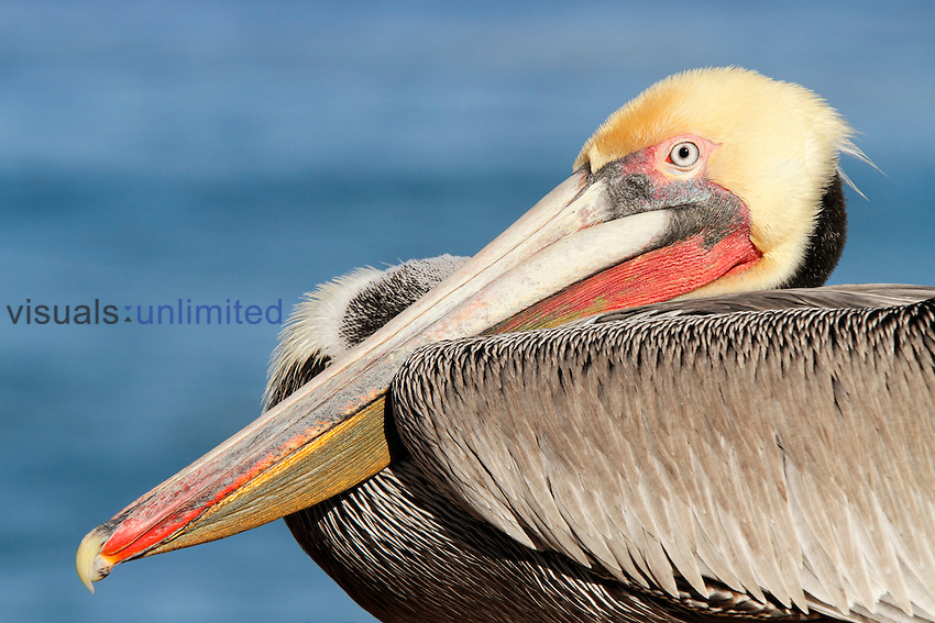 Brown Pelican (Pelecanus occidentalis) resting, La Jolla, California, USA.
