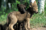 Timber or Grey Wolf, Canis lupus, Minnesota, USA, controlled situation, young cubs, 7 weeks old, in woodland, by den, summer, cute.USA....