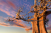 A photo of a windswept and weathered pine tree at sunset on Donner Summit, Ca.