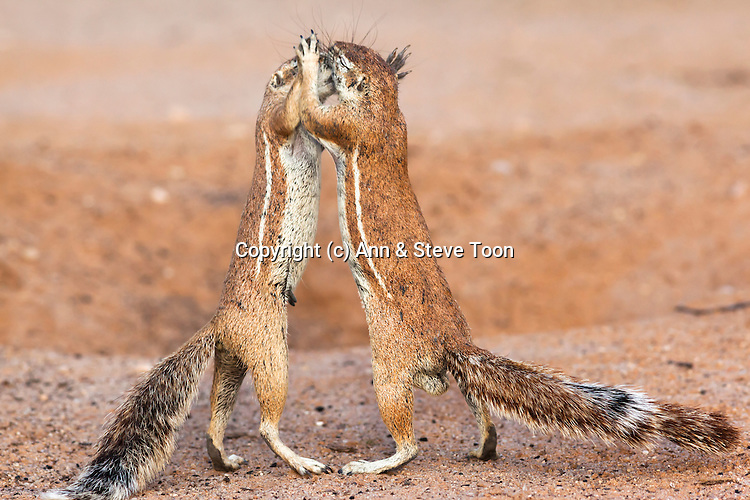 Ground squirrels, Xerus inauris,samle and female interaction, Kgalagadi Transfrontier Park, Northern Cape, South Africa, February 2013