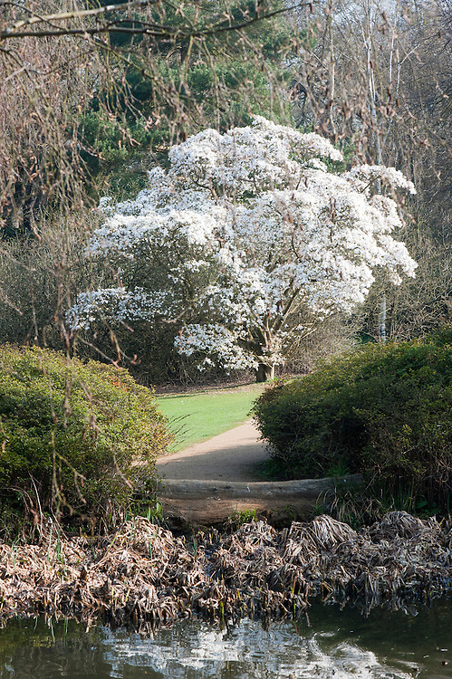 Magnolia stellata in full bloom, late March.