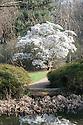 Magnolia stellata in full bloom, late March.