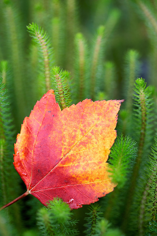Fall colored maple leaf (Acer rubrum). Hughes Water Gardens. Oregon