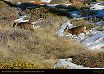 Mule Deer Fawns in Winter, Black-tailed Deer, Odocoileus hemionus, Sunrise Point, Bryce Canyon National Park, Utah
