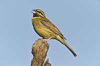 Cirl Bunting Emberiza cirlus L 16-17cm. Well-marked bunting. Olive-grey rump allows separation from Yellowhammer (with red-brown rump) at all times. Sexes are dissimilar. Adult male has black and yellow on head. Breast, nape and crown are greenish grey and underparts are yellow, flushed and streaked chestnut on flanks; back is reddish brown. In winter, colours are duller. Adult female has dark and yellowish stripes on head, streaked greenish grey crown, nape and breast and streaked yellowish underparts. Back is reddish brown. Juvenile is similar to adult female but paler. Voice Utters a sharp tziip call. Song is a tuneless rattle, recalling Lesser Whitethroat. Status Once widespread in S, now restricted to S Devon; recently reintroduced to Cornwall. Favours low-intensity farmland with hedgerows.