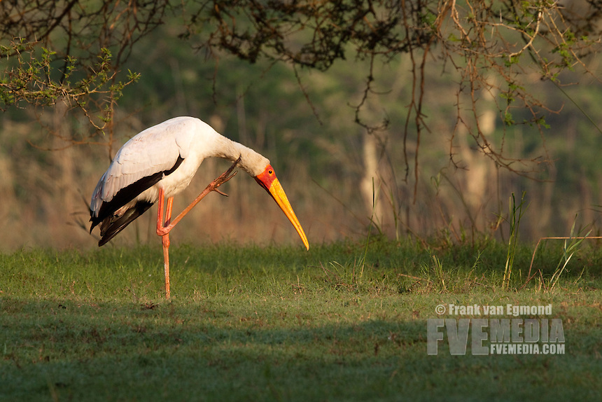 Yellow-billed Stork grooming (Mycteria ibis).. Ndumo Game Reserve, Kwazulu-Natal, South Africa. November 2010.