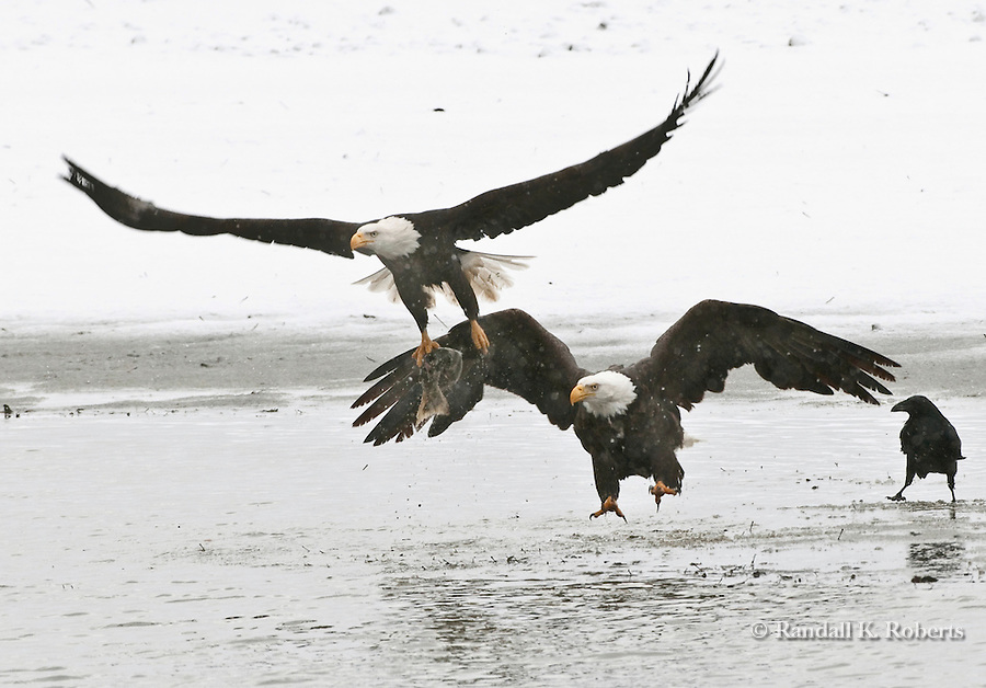 A bald eagle snatches a salmon from another eagle along the Chilkat River, Chilkat Bald Eagle Preserve, Haines, Alaska