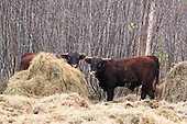 Two beef cattle eating hay outside