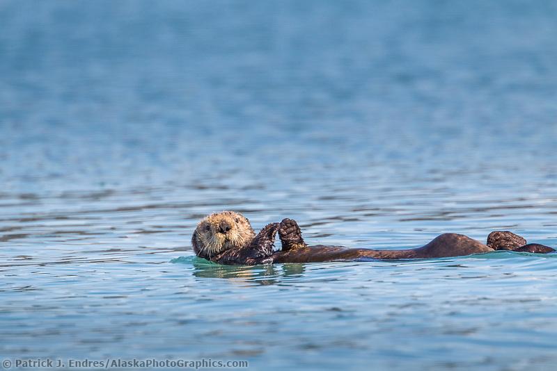 Sea otter swims in Nellie Juan Lagoon, Prince William Sound, Alaska