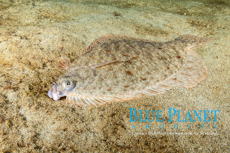 Winter Flounder, Pseudopleuronectes americanus, Gulf of Maine, Rockport, Massachusetts, USA, Atlantic Ocean