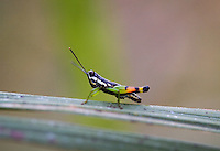 20080131_Periyar, India_ A Painted grass-hopper, in the Periyar Wildlife Sancuary in the Southern Indian state of Kerala.  Photographer: Daniel J. Groshong/Tayo Photo Group