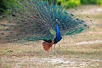 Indian peafowl, common peafowl, or blue peafowl, Pavo cristatus, adult male, peacock, in full display of ornate feathers during breeding season, Bundala National Park, Sri Lanka, Asia
