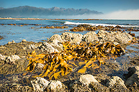 Bull kelp seaweed on rocky coast in Kaikoura with Seaward Kaikouras mountains in background, Marlborough Region, South Island, East Coast, New Zealand
