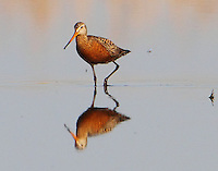 Male Hudsonian godwit in breeding plumage