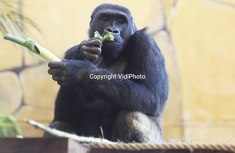 Foto VidiPhoto<br /> <br /> RHENEN - Het is winter en dan heb je stevige kost nodig. Stampot dus. Ook voor de gorilla's van Ouwehands Dierenpark in Rhenen dinsdag. De dieren kregen daarom echte winterkost: andijvie, kool en prei.