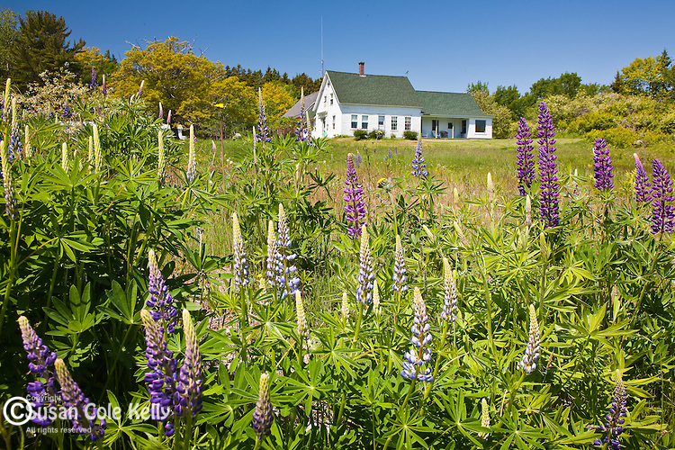 Lupines bloom in Deer Isle, ME, USA
