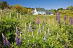 Lupines bloom in Deer Isle, ME, USA