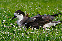 Dark-rumped petrel, Pterodroma sandwichensis An endangered native sea bird found only to nest in the Hawaiian Islands.  It nests only in the high elevation lava fields and mountain forests.
