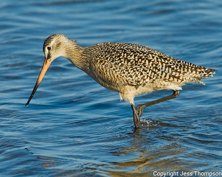 Marbled Godwit, South Padre Island, TX