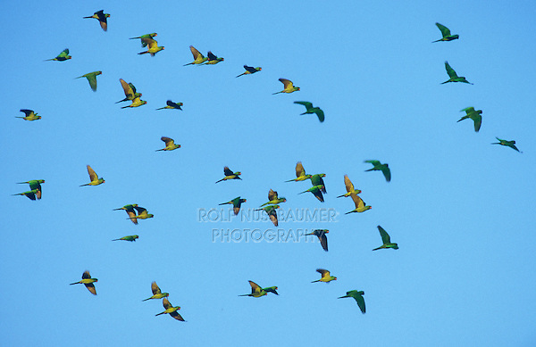 Green Parakeet, Aratinga holochlora, flock in flight, Brownsville, Rio Grande Valley, Texas, USA