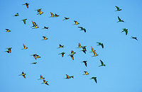 Green Parakeet, Aratinga holochlora, flock in flight, Brownsville, Rio Grande Valley, Texas, USA