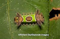 04008-002.01 Saddleback Moth caterpillar, (Sibine stimulea) Effingham Co. IL
