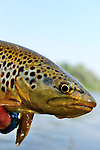 Wild Brown trout cover