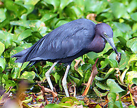Adult little blue heron with a big tadpole
