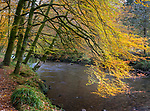 Glencoe, Scotland:<br /> Beech trees in fall color overhanging the river Coe