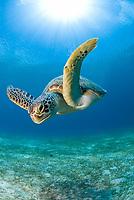 green sea turtle, Chelonia mydas, Dumakya Island, Philippines, Pacific Ocean