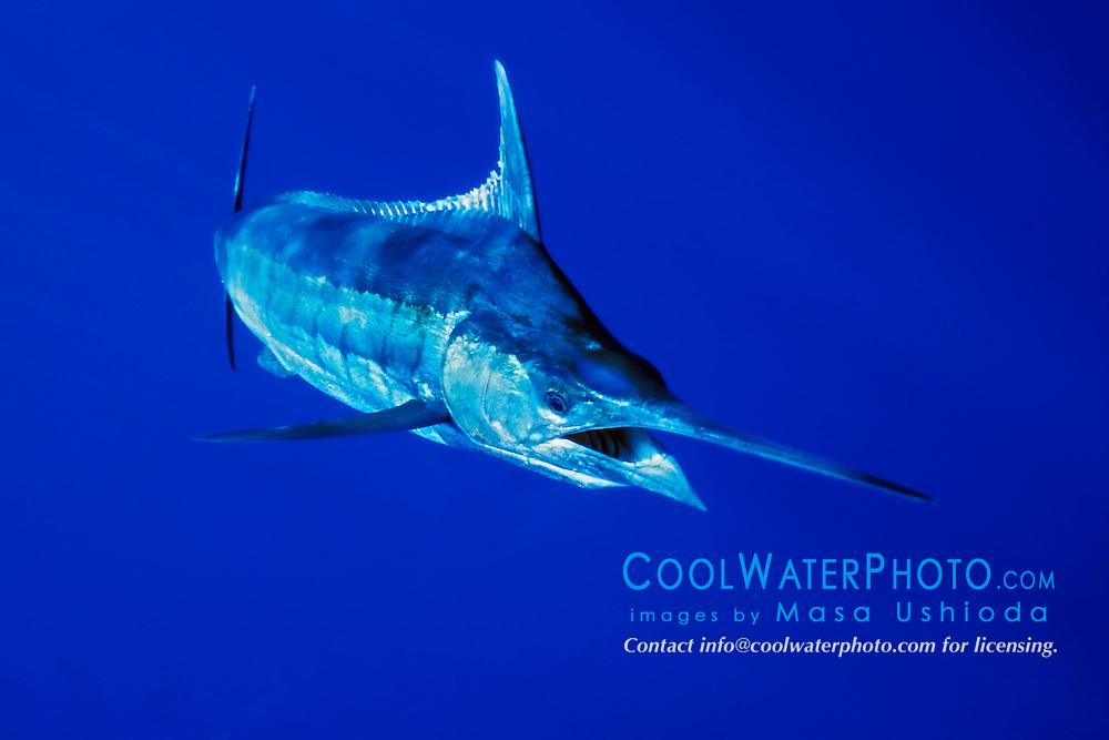 Blue Marlin Underwater | www.pixshark.com - Images ...