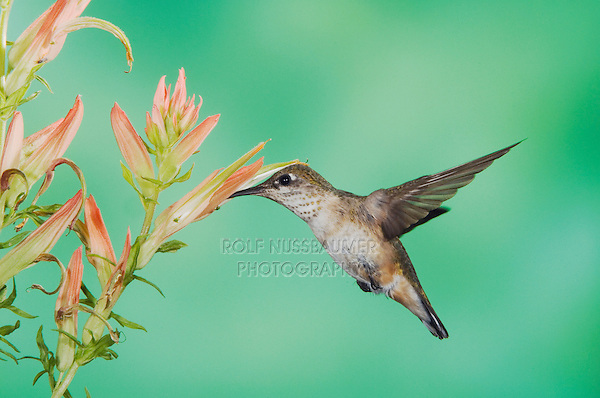 Rufous Hummingbird, Selasphorus rufus, immature in flight feeding on paintbrush flower, Paradise, Chiricahua Mountains, Arizona, USA, August 2005