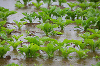 Waterlogged sugar beet plants<br /> ©Tim Scrivener Photographer 07850 303986<br />      ....Covering Agriculture In The UK....