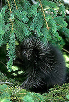 MA05-002z  Porcupine - young in tree - Erethizon dorsatum