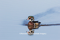 00715-08810 Wood Duck (Aix sponsa) male in wetland,  Marion County, IL