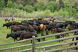 USA, Oregon, Joseph, Cowboys Todd Nash and Cody Ross move cattle from the Wild Horse Creek up Big Sheep Creek to Steer Creek