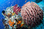 Soft corals, Dendronephthya sp., and a barrel sponge, Xestospongia sp., Raja Ampat, West Papua, Indonesia, Pacific Ocean