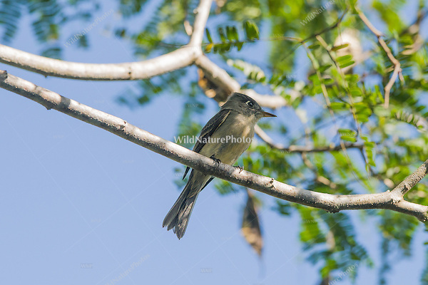 An endemic Cuban Pewee (Contopus caribaeus) perched on a branch. La Turba, Cuba