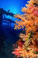 soft corals, Numidia, shipwreck, Big Brother Island, Egypt, Red Sea, Indian Ocean