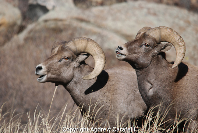 Two Big Horn Sheep Rams vie for the attention of females during mating season in Colorado.