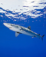 A large female blue shark (Prionace glauca) with a mating scar on its side, Big Island.