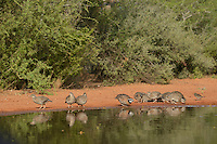 Northern Bobwhite (Colinus virginianus), group drinking at pond, Rio Grande Valley, South Texas, Texas, USA
