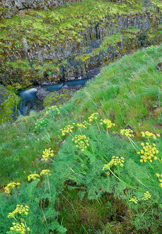 Pungent Desert Parsley (Lomatium grayi) and Catherine Creek. Columbia River Gorge National Scenic Area, Washington
